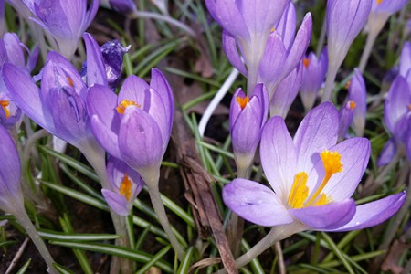 Crocus-Barrs-Purple-Tommaisianus