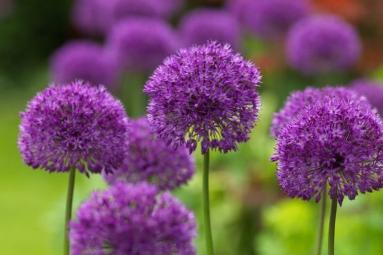 Lilla Allium Purple Sensation